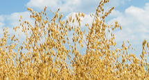 PedigreedSeed_215x115px_CDC_SEABISCUIT_MILLING_OAT